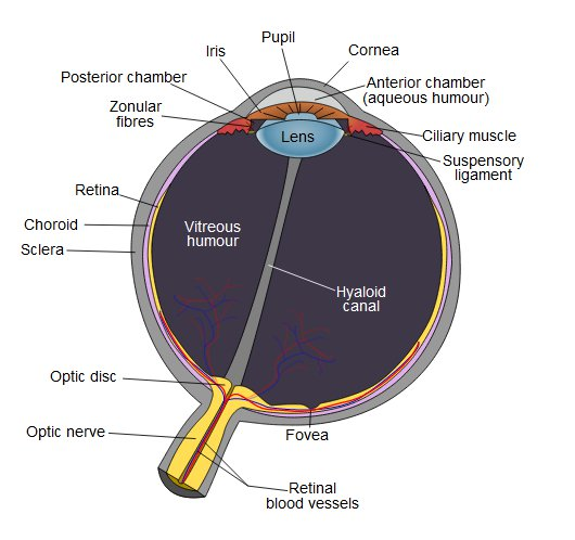 How Your Eyes Work - Anatomy Of The Eye